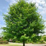 Nuttall Oak tree