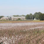 Picture of cotton fields by the West Tennessee AgResearch and Education Center