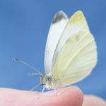 Picture of cabbage white butterfly