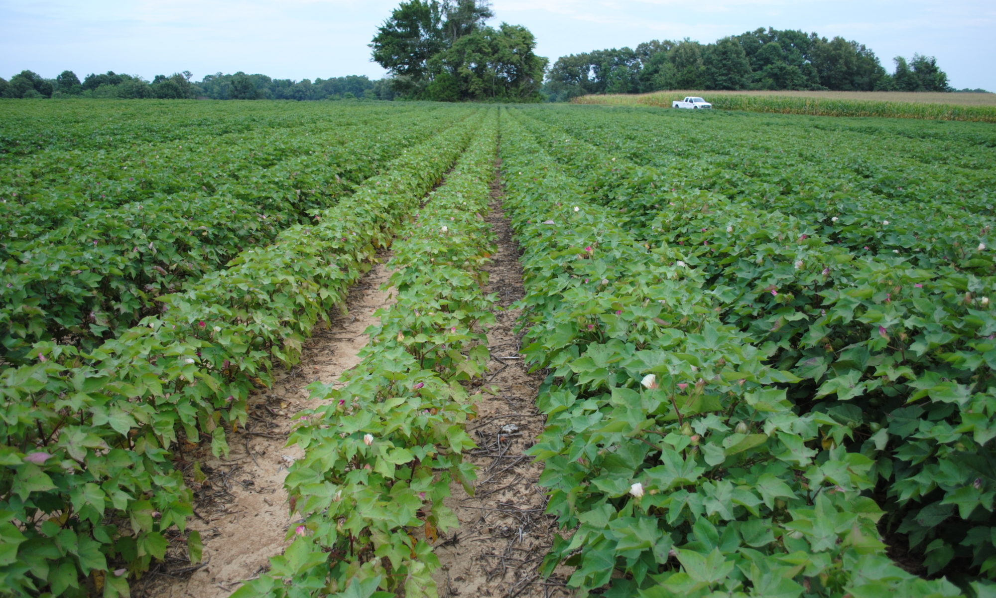 Picture of field of cotton