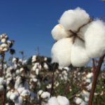 Picture of cotton plant with a blue sky background