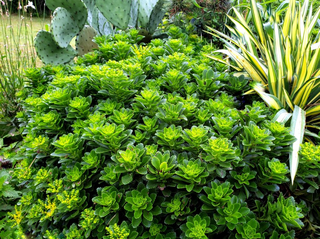 Picture of sedum plant