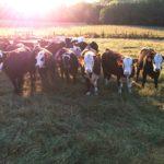 Heifers at UT Beef Heifer Development Center