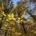 A tree canopy at the UT Arboretum in fall.