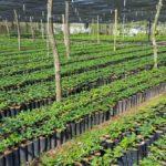 Coffee plant nursery Veracruz, Mexico