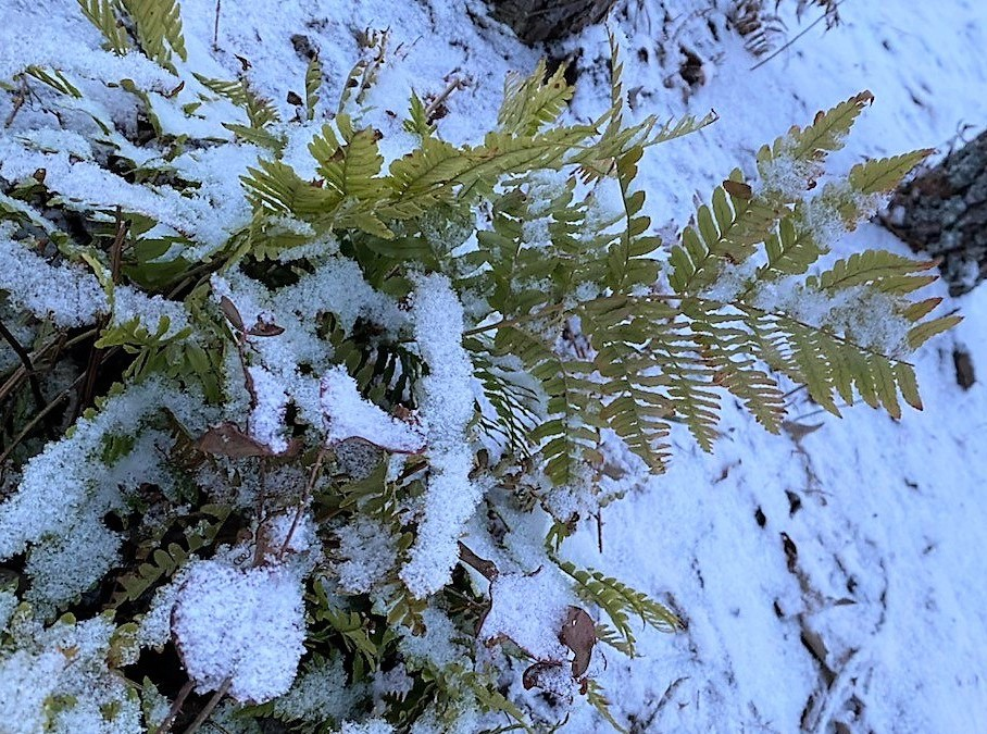 Picture of snow-covered ferns