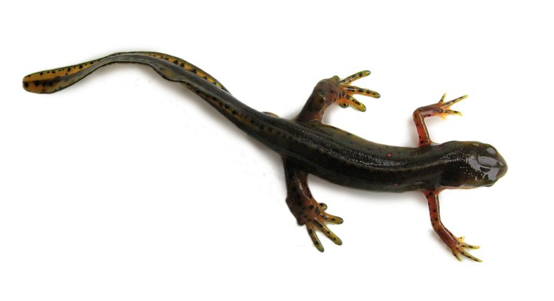 An adult eastern newt rests on a white background. Photo credit Dave Huth.