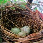 Picture of a birds nest with three blue eggs