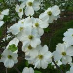 Appalachian-Joy-Flowering-Dogwood-AW