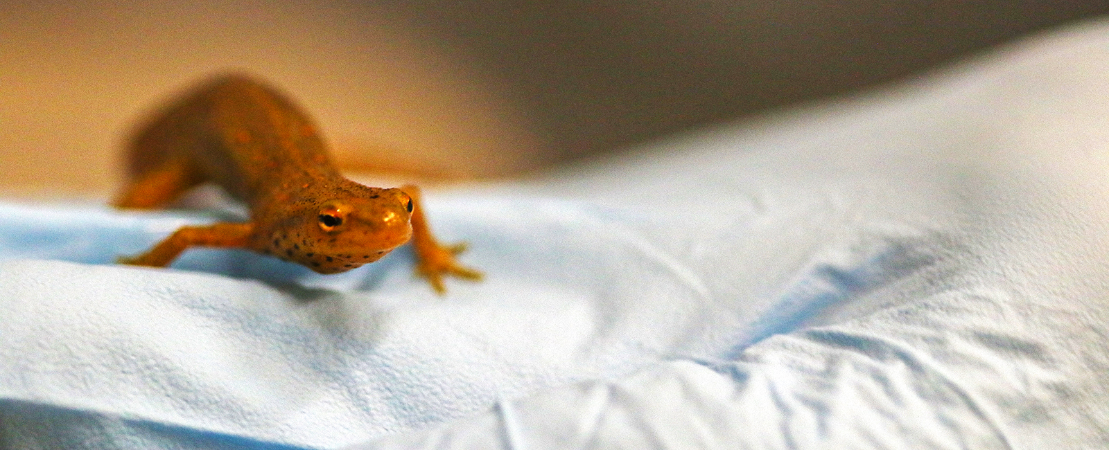 An eastern newt rests on a gloved hand.