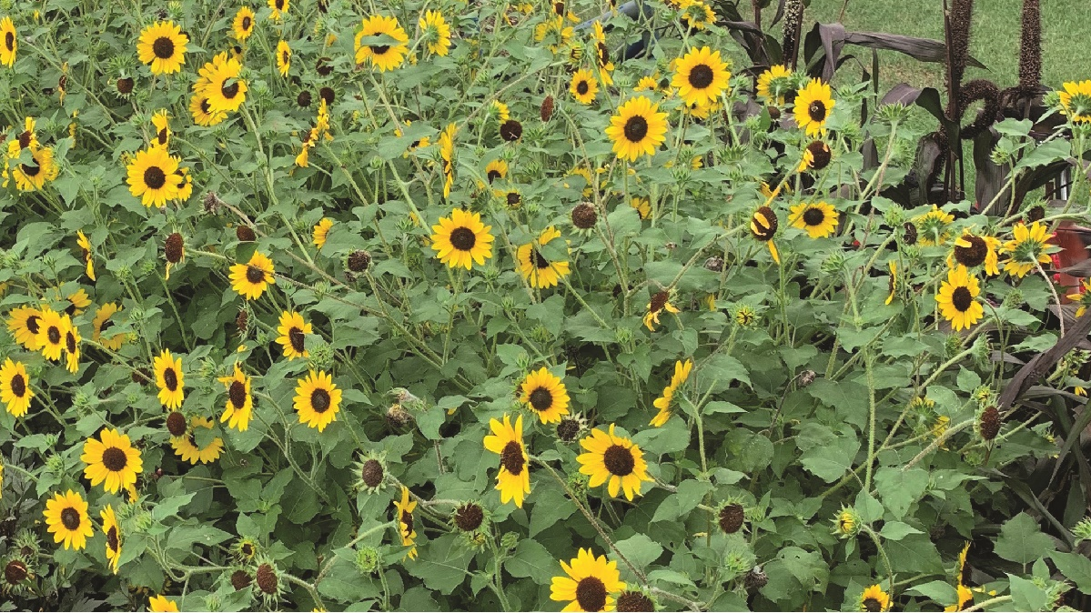 Suncredicble sunflowers on display at the UT Gardens, Jackson