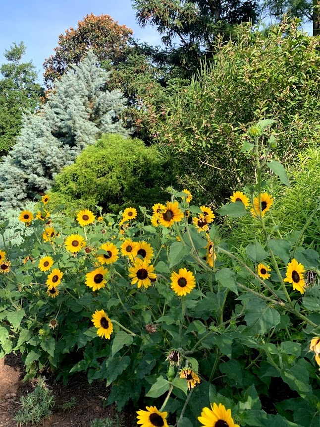 Suncredible sunflowers form a border at the UT Gardens, Knoxille
