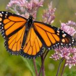 Monarch butterfly on Joe Pye plant