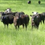 Beef Feeder Cattle on Pasture