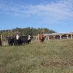 Beef Heifers in a field