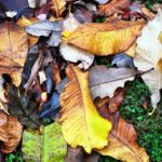 magnolia macrophylla leaf litter